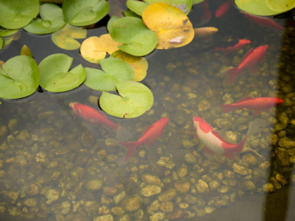 fish in a fish pond